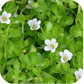 Bacopa - Mental Alertness, Memory and Mood