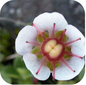 Bergenia ciliate