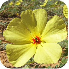 Tribulus - Urinary Support