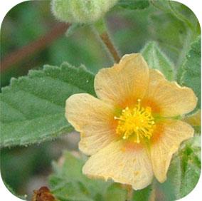 Heart-Leaf Sida