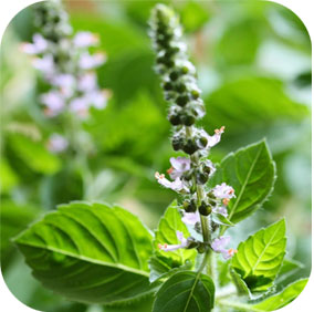 Holy Basil - Stress, Emotional Well-Being and Relaxation