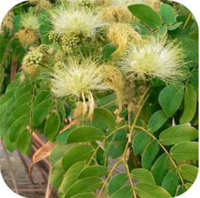 Lebbek Tree