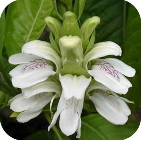 Malabar Nut Tree